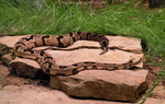 Timber Rattlesnake by Leonca