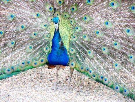 peacock by carlbert