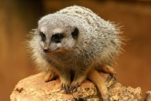 Meerkat 009 by MonsterBrand-stock