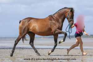 Bay horse trot stock 3 by buckleighh