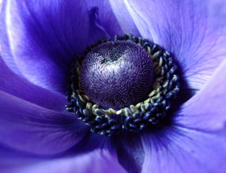 Anemone II by Sally599