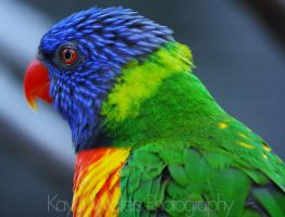 Lorikeet by but-autumn-came