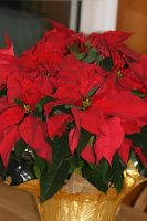 Glorious Poinsettias by Maeve09