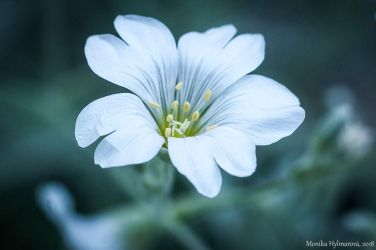 Tiny White Flower II by amrodel