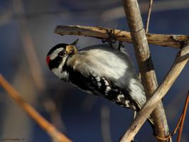 Downy Woodpecker 2013 by natureguy