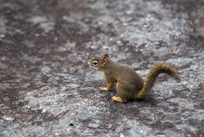 Red Squirrel by BlackRoomPhoto