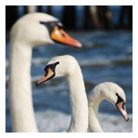 bonny swans by Wilithin