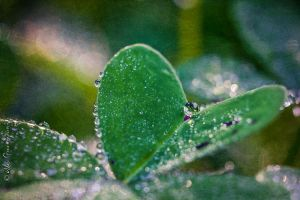 Heart of Dew by alexgphoto