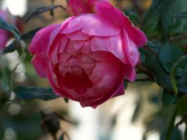 Rose I by MadGardens