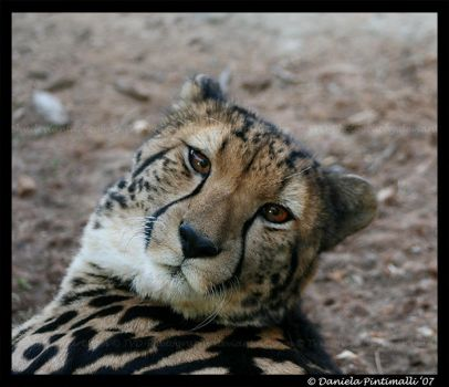 King Cheetah Portrait by TVD-Photography