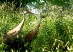 Sand Hill Cranes by anonymoose1