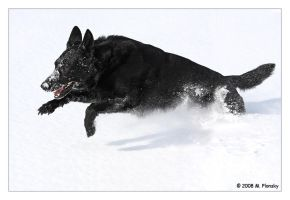 Cree Running in the Snow by mplonsky