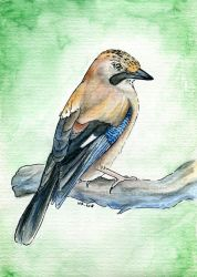 European Jay by Mimose91