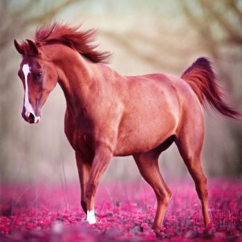 Pink Flower Arab by frisbee-horseland
