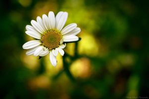a daisy for you by knowhopeinme