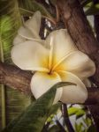Hawaiian Flower by creativemikey
