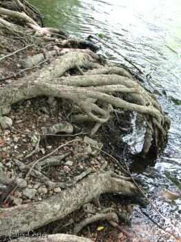 Roots by Salix-Cortex