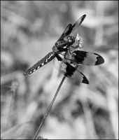 Black and white Dragonfly by Eruwyn
