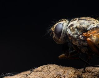 Stable Fly... by DeoIron