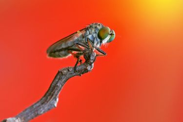 Asilidae in red by fitrido