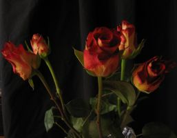 Rose on black_5 by Hermit-stock