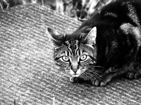 Black and White kitty by kleanne