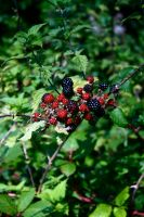 berries by smev
