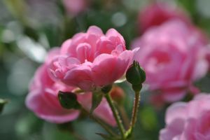 Pink roses of july II by OfTheDunes