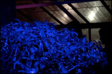 Night Lights, Part 3: Blue Bush by bdusen