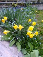 Yellow Daffodils - Giunchiglie gialle by Gheldhon