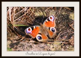 Inachis io - my favorite shot of a butterfly by Feelin3