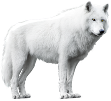 White Wolf Isolated Stock by Rhabwar-Troll-stock