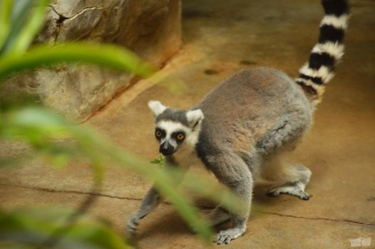 Ring tailed Lemur by twosheds1