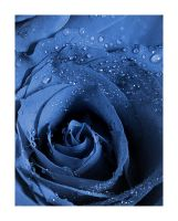 Blue rose by nico-blue