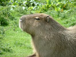A Capybara by glitter-lion