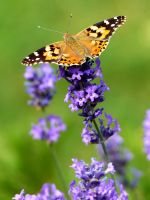 Painted Lady on Lavender 2b by Saberryna