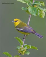 Blue-Winged Warbler's profile by gregster09