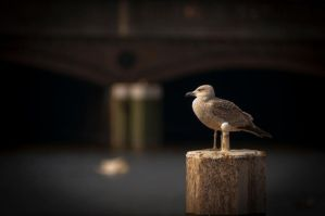 Seagull by schneids