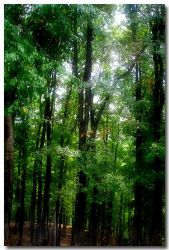Forest by cellists