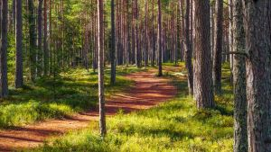 Sunny road in a pine forest by sulevlange