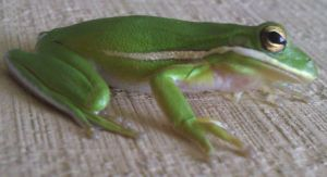American Green Tree Frog Stock by Lovely-DreamCatcher