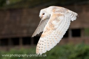 Barn Owl in Flight by Neutron2K