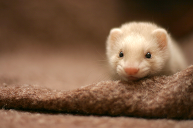 my friend ferret by Sashe4ka