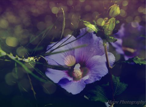 Shades of Purpule by Muov