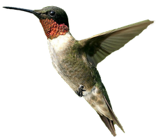 Male humming bird PNG by DoloresMinette