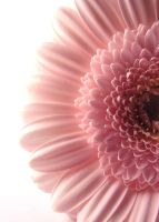 Gerbera 1 by atreja-stock