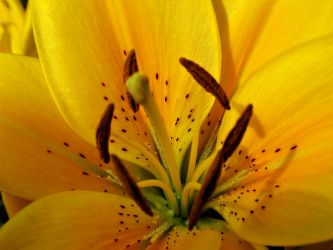 yellow lily by duckpondevans