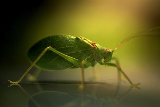 katydid 3 by homedoggieo