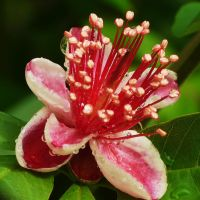 Feijoa with droplets by duggiehoo