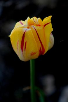 Tulip by shutter-bug664